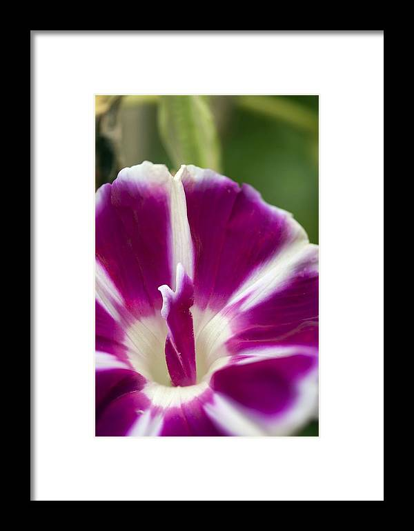 Morning Glory Framed Print featuring the photograph Morning Glory (ipomoea Purpurea) by Maria Mosolova