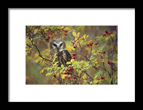 Mp Framed Print featuring the photograph Northern Saw Whet Owl Perching by Tim Fitzharris