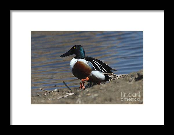 Duck Framed Print featuring the photograph Northern Shoveler by Lori Tordsen