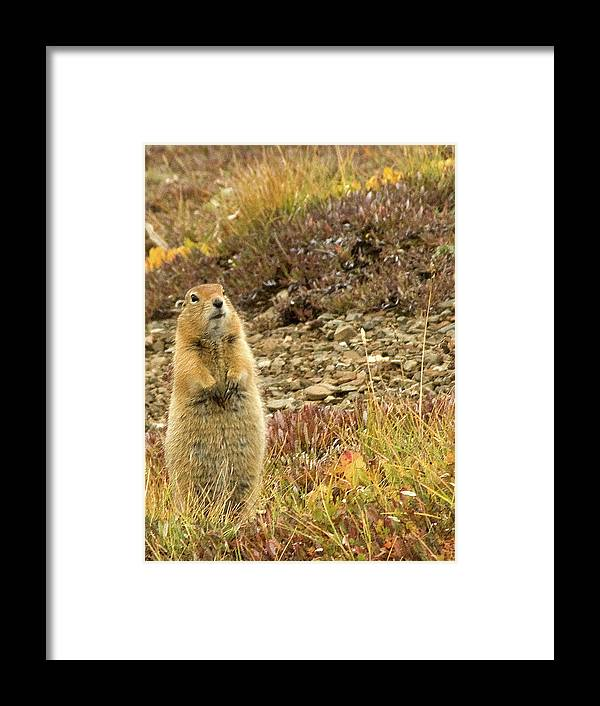 Marmot Framed Print featuring the photograph Not Me by Jim and Kim Shivers