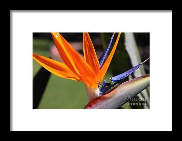 Bird Of Paradise Framed Print featuring the photograph Orange by Milena Boeva