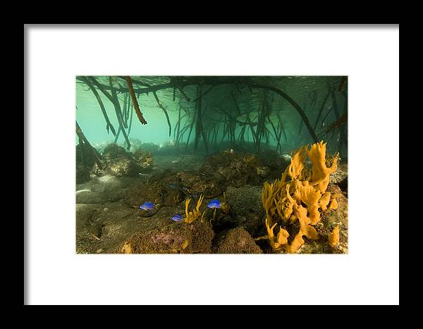 Underwater Framed Print featuring the photograph Orange Sponges Grow by Tim Laman