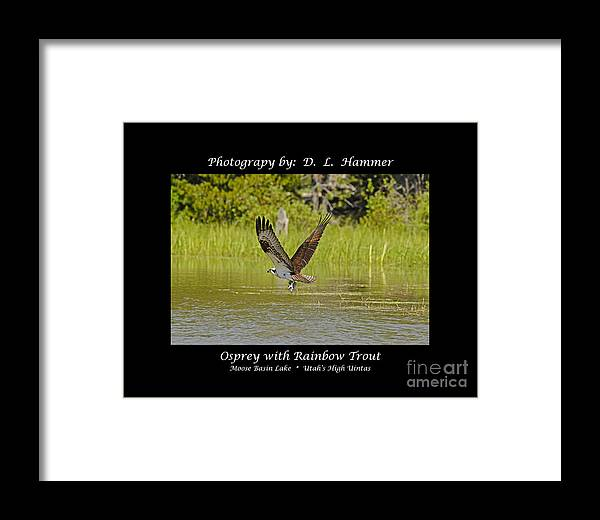 Birds Framed Print featuring the photograph Osprey With Rainbow Trout by Dennis Hammer