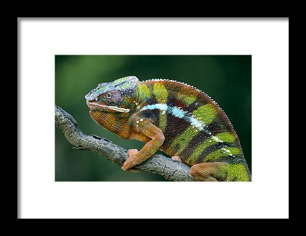 Fn Framed Print featuring the photograph Panther Chameleon Chamaeleo Pardalis by Ingo Arndt