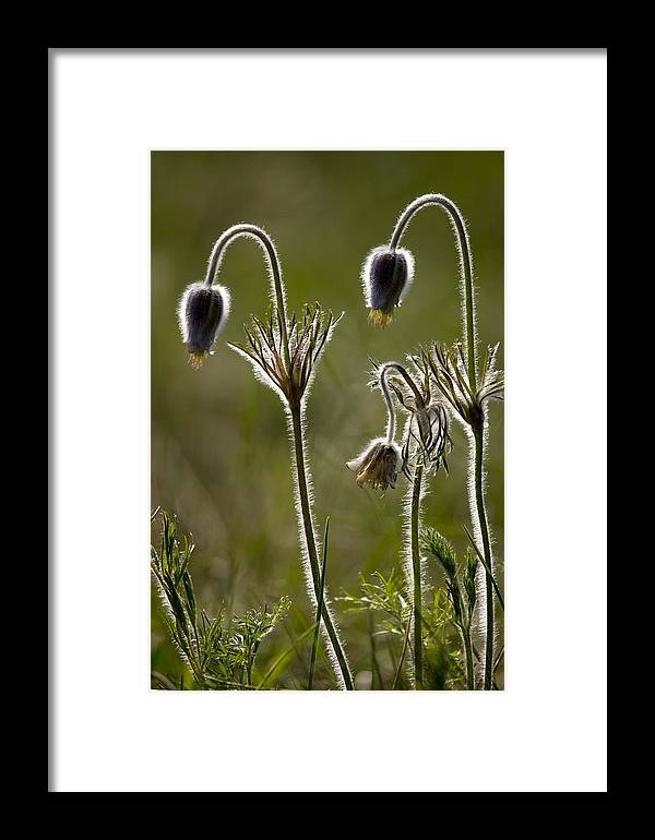 Pasque Flower Framed Print featuring the photograph Pasque Flower (pulsatilla) by Bob Gibbons