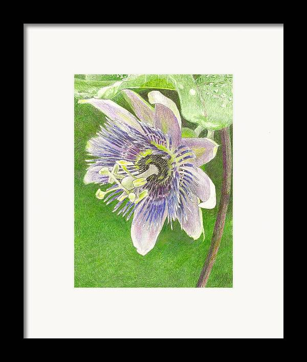 Passiflora Framed Print featuring the drawing Passiflora Alatocaerulea by Steve Asbell