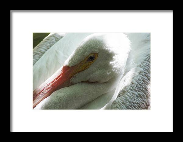 Pelican Framed Print featuring the photograph Pelican by DiDi Higginbotham
