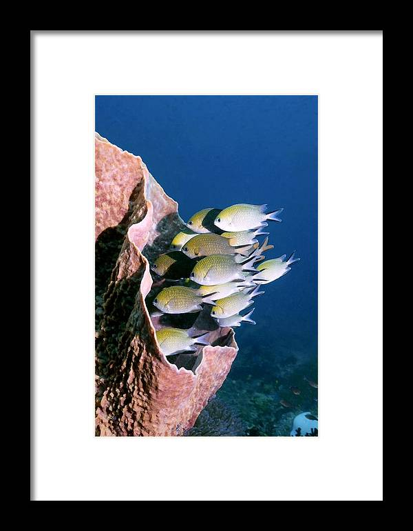 Chromis Scotochiloptera Framed Print featuring the photograph Philippines Chromis by Georgette Douwma
