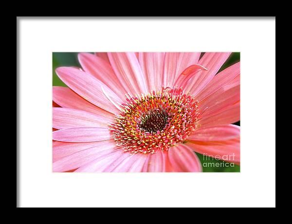 Pink Gerbera Framed Print featuring the photograph Pink Gerbera by Mihaela Limberea