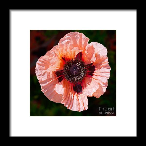 Framed Print featuring the photograph Pink Poppy by Kathleen Smith