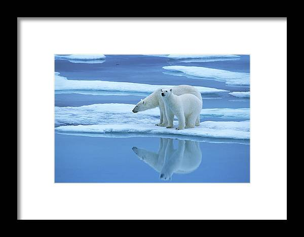 Fn Framed Print featuring the photograph Polar Bear Ursus Maritimus Pair On Ice by Rinie Van Meurs