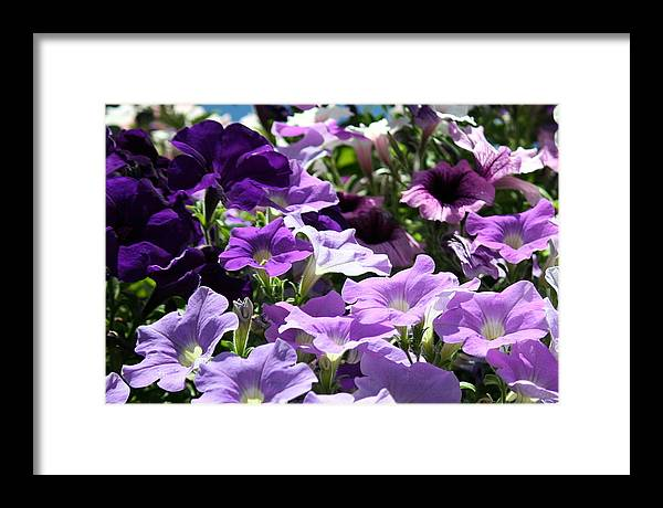Flowers Framed Print featuring the photograph Purple Petunias by Laurel Gillespie