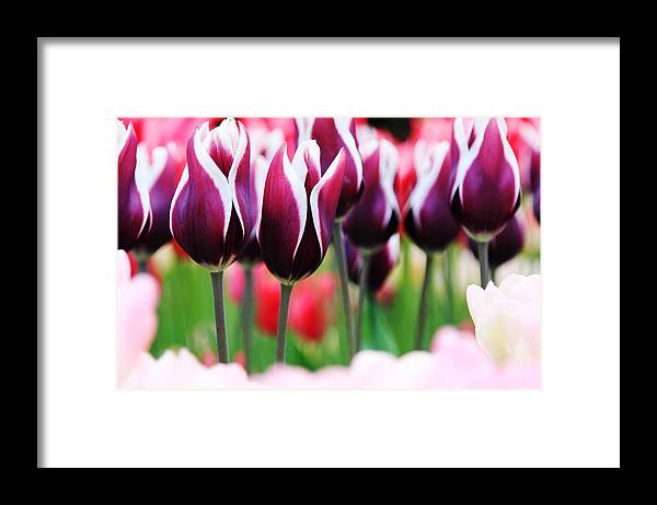 Tulips Framed Print featuring the photograph Purplish Tulips by Kean Poh Chua