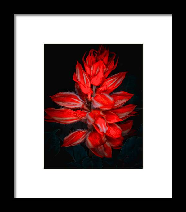Red Flower Natura Macro Black Framed Print featuring the pyrography Red Flower by Gennadiy Golovskoy