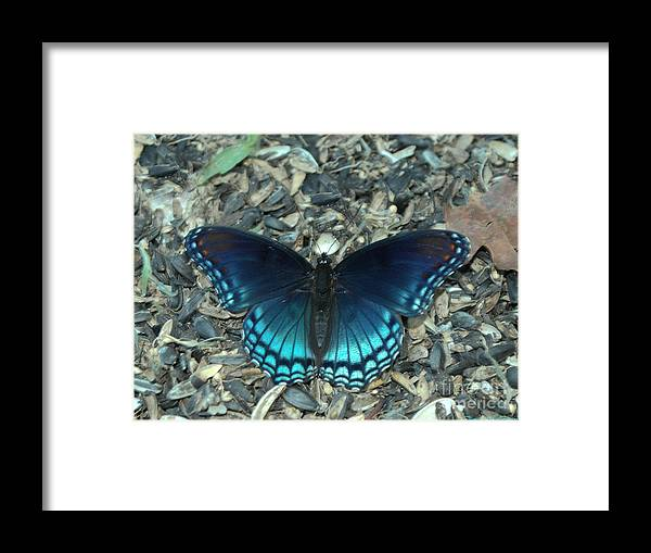 Insect Framed Print featuring the photograph Red Spotted Purple Swallowtail Butterfly by Donna Brown