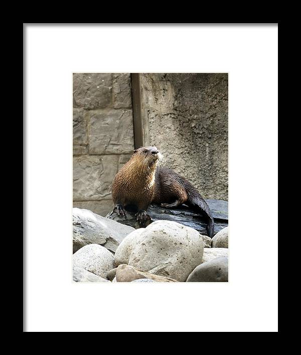 Otter Framed Print featuring the photograph River Otter by Travis Abe-Thomas