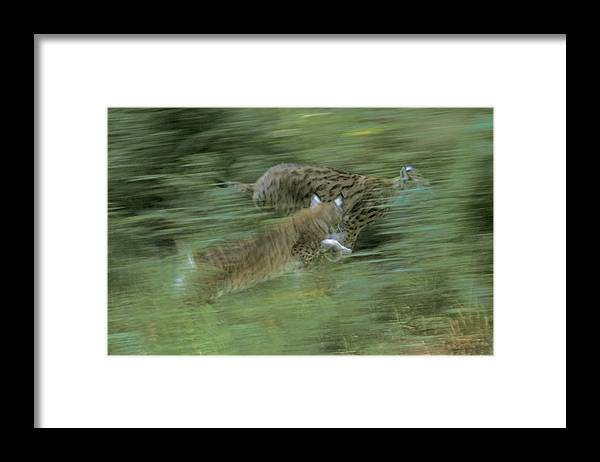 Wild Framed Print featuring the photograph Running Lynx by Ulrich Kunst And Bettina Scheidulin