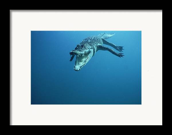 Mp Framed Print featuring the photograph Saltwater Crocodile Crocodylus Porosus by Mike Parry