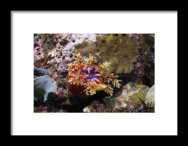 Sea Apple Framed Print featuring the photograph Sea Apple by Georgette Douwma