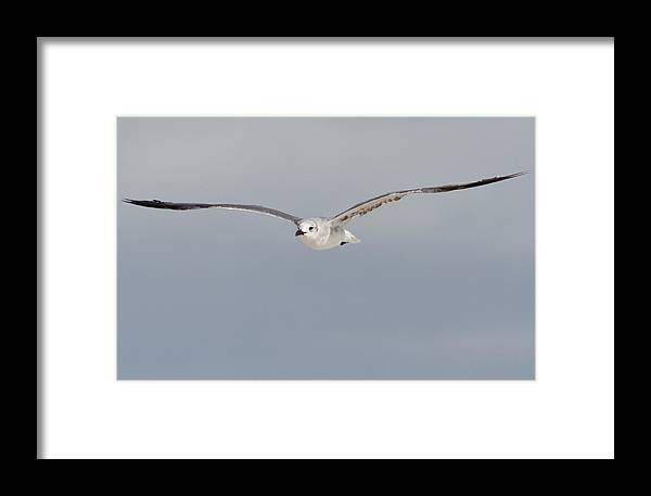 Sea Gull Framed Print featuring the photograph Sea Gull In Flight by Mike Rivera