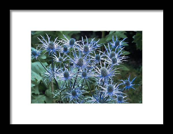 Eryngium X Oliverianum Framed Print featuring the photograph Sea Holly (eryngium X Oliverianum) by Archie Young