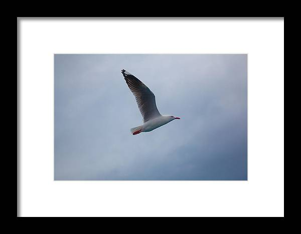 Bird Framed Print featuring the photograph Seagull by Carole Hinding