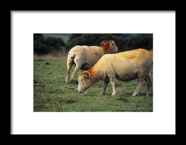 Sheep Framed Print featuring the photograph Sheep by David Aubrey