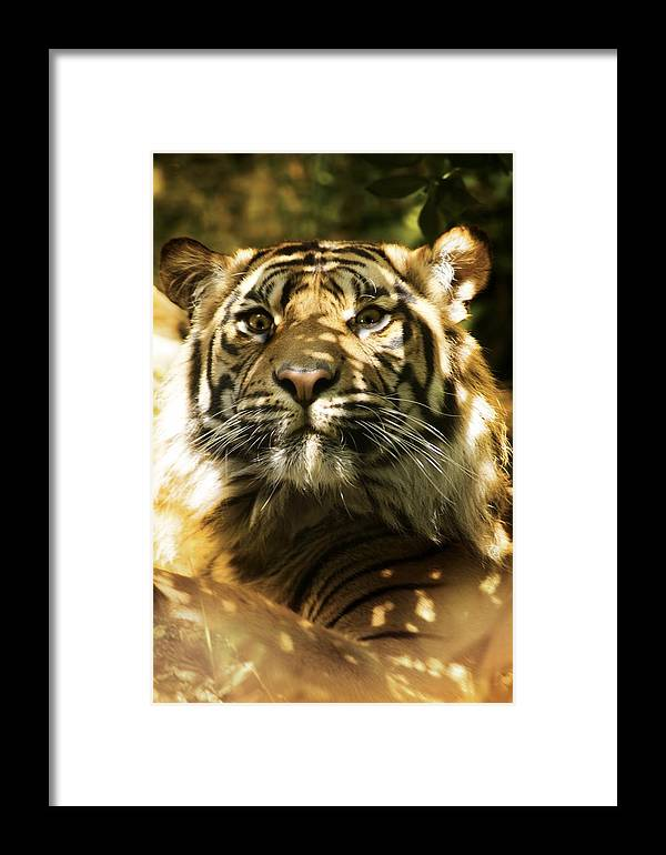 Panthera Tigris Altaica Framed Print featuring the photograph Siberian Tiger by Victor Habbick Visions