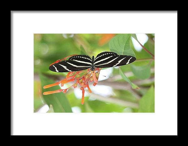 Butterfly Framed Print featuring the photograph Sipping Nectar by Andrea OConnell