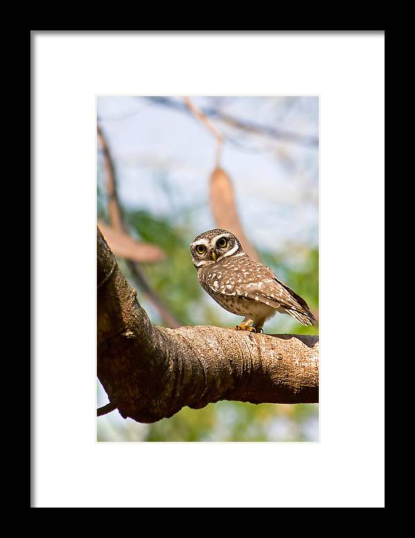 Vertical Framed Print featuring the photograph Spotted Owlet by Amith Nag Photography