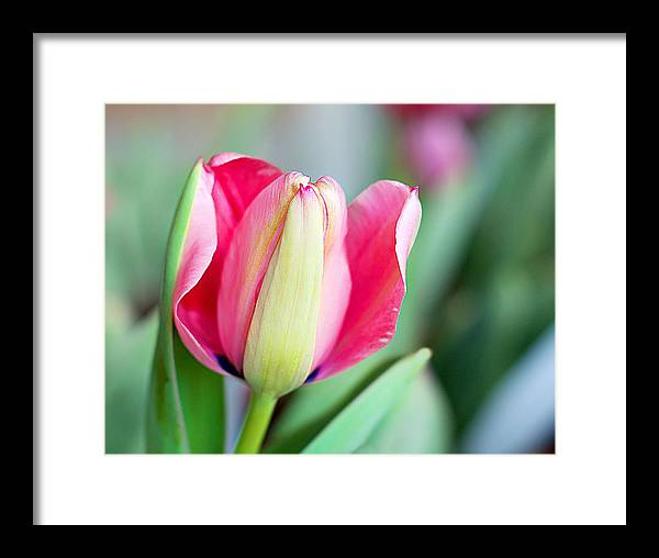 Framed Print featuring the photograph Spring Tulip by Kimberlee Guiditta