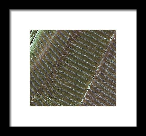 Striated Framed Print featuring the photograph Striated Muscle, Sem by Steve Gschmeissner