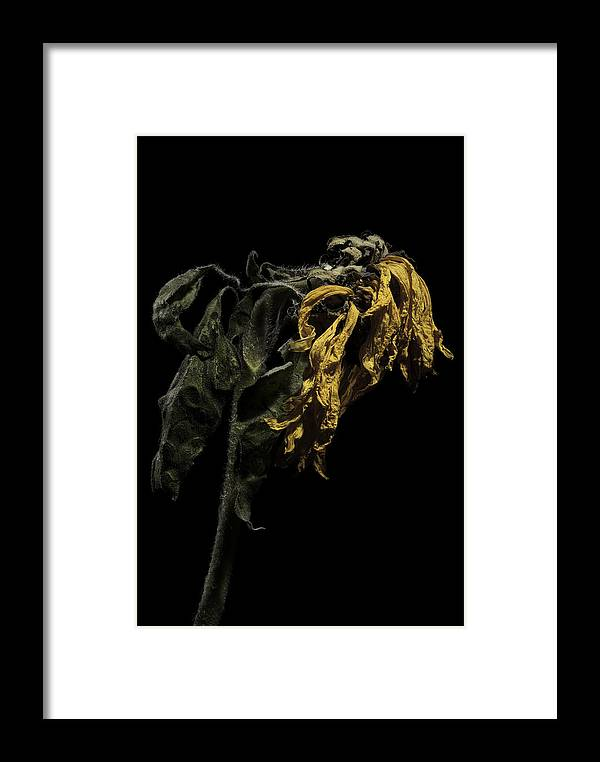Flower Framed Print featuring the photograph Sunflower by Nathaniel Kolby
