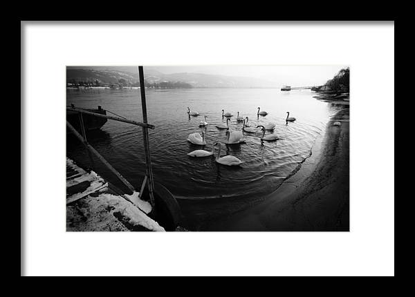 Danube Framed Print featuring the photograph Swans On River Danube by Tibor Puski