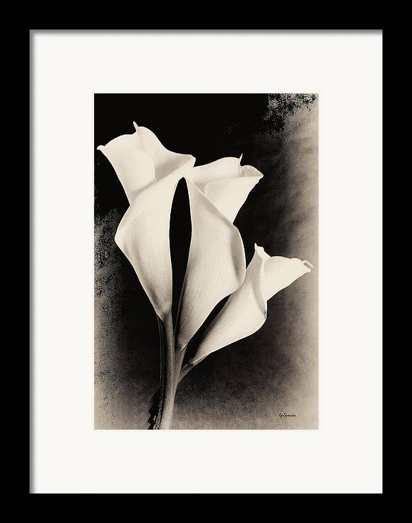 Floral Framed Print featuring the photograph Three Calla Lilies by Lisa Spencer