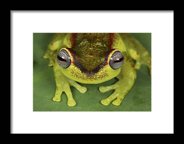 Mp Framed Print featuring the photograph Tree Frog Hyla Rubracyla At Night by Thomas Marent