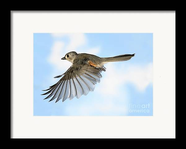 Songbirds Framed Print featuring the photograph Tufted Titmouse In Flight by Ted Kinsman