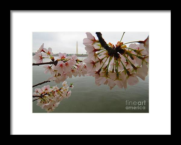 Washington Monument Framed Print featuring the photograph Washington Monument during Cherry Blossom Festival by Rrrose Pix