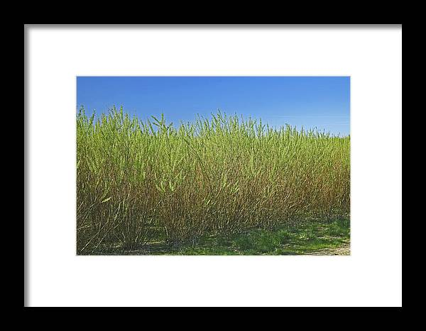 Willow Framed Print featuring the photograph Willow Bioenergy Crop, Sweden by Bjorn Svensson