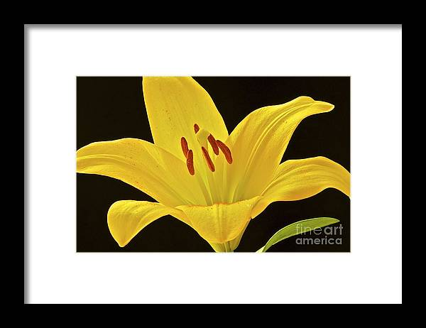 Flower Framed Print featuring the photograph Yellow Lily by Mihaela Limberea