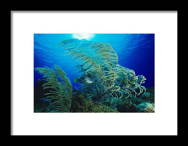 Sea Plume Framed Print featuring the photograph Yellow Snapper Fish by Alexis Rosenfeld