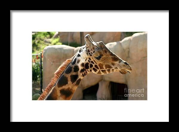 Africa Framed Print featuring the photograph Baringo Giraffe by Henrik Lehnerer