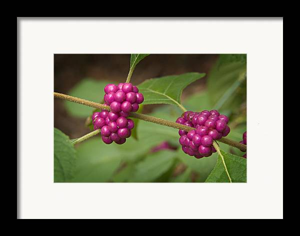 Callicarpa Framed Print featuring the photograph 1109-6879 American Beautyberry Or French Mulberry by Randy Forrester