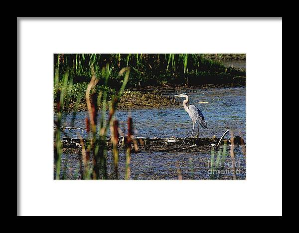 Nature Framed Print featuring the photograph Great Blue Heron by Jack R Brock