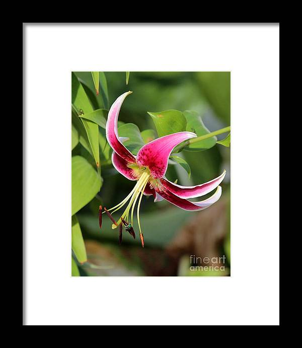 Nature Framed Print featuring the photograph Lily Flowers by Jack R Brock