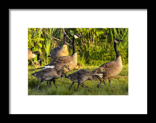 Framed Print featuring the photograph Canadian Geese by Brian Stevens