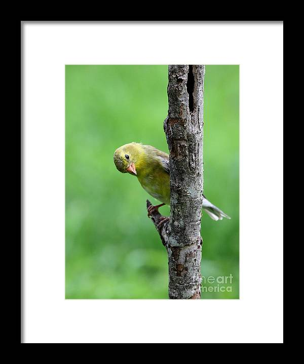 Nature Framed Print featuring the photograph American Goldfinch by Jack R Brock