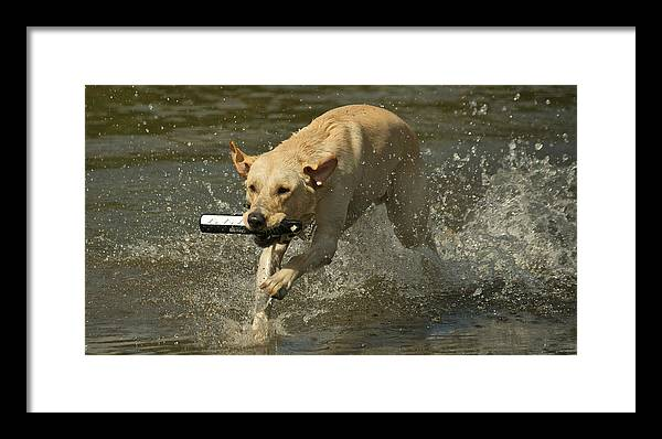 Pacific Northwest Framed Print featuring the photograph Yellow Labrador by Steven Lapkin