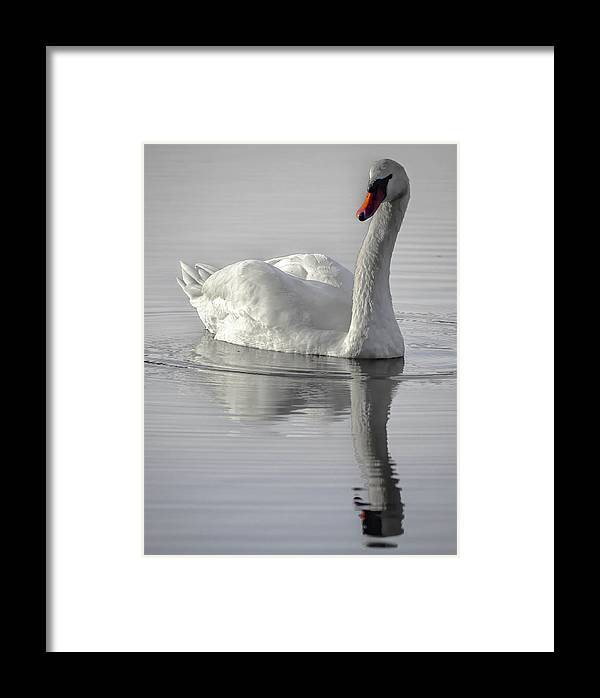 Framed Print featuring the photograph Mute Swan by Brian Stevens