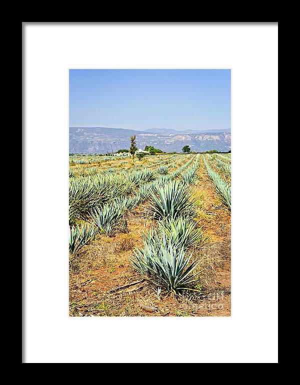 Agave Framed Print featuring the photograph Agave Cactus Field In Mexico by Elena Elisseeva